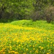 Dandelion meadow, spring scene — Stock Photo