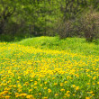 Dandelion meadow, spring scene — Stock Photo #8132072