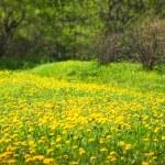 Dandelion meadow, spring scene — Stock Photo #8132072