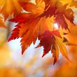 Autumnal maple leaves in blurred background — Stock Photo #9308788