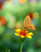 Butterfly on flower, summer scene — Stock Photo