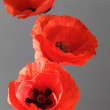 Three poppies — Stock Photo