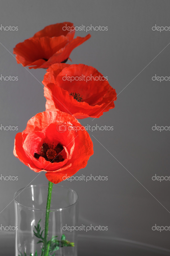 Three poppies in glass vase on gray background. — Stock Photo #9158214