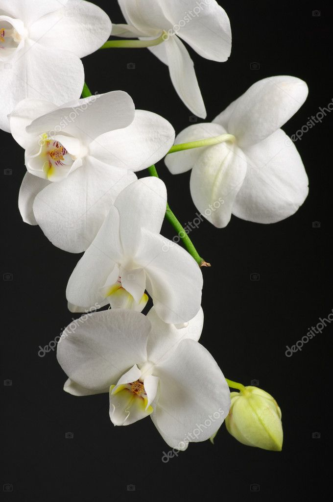 Branch of white orchid on black background.  Stock Photo #9382895
