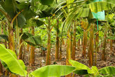 Banana monoculture — Stock Photo