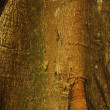 Detail of Ceiba, tropical tree, Background - Stock Photo