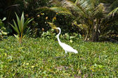 Great White Heron. Caribbean beach with tropical forest. Tayrona — Stock Photo