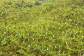 Banana monoculture — Stock Photo