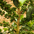 Coffee plants to mature. - 图库照片