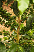 Coffee plants to mature. — Stock Photo
