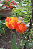 Orange and yellow tulips — Photo
