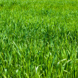 Stock Photo: Natural green grass field as background
