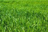 Campo de hierba verde natural como telón de fondo — Foto de Stock