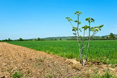 Countryside View of Furrowed Farmland with small fig — Stock Photo