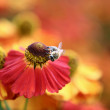 Bumblebee on the orange flower — Stock Photo