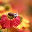 Bumblebee on the orange flower — Stock Photo