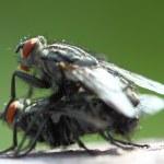 Closeup of two mating flies — Stock Photo