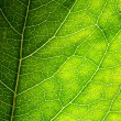 Green leaf texture — Stock Photo #10233235