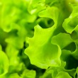Fresh green lettuce salad closeup — Stock Photo #10233681