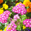 Stock Photo: garden flowers