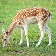 Fallow deer — Stock Photo #10235994