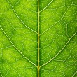 Green leaf texture — Stock Photo #10236896
