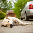 Stock Photo: Laying dog