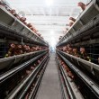 Stock Photo: Chicken farm