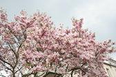 Blossom tree — Stock Photo