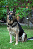 Handsome german shepherd portrait — Stock Photo