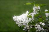 Blooming jasmin — Stock Photo