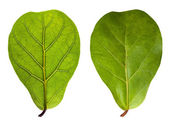 Leaf with veins and normal leaf isolated on white — Stock Photo