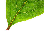 Part of green leaf isolated — Stock Photo