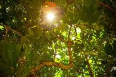 Sun shining throught the fig tree foliage — Stock Photo