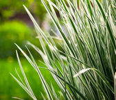 Japan sedge — Stock Photo