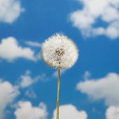 Dandelion on sky background — Stock Photo