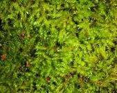 Moss background — Stock Photo