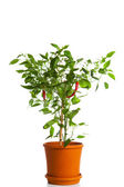 Green pepper plant — Stock Photo