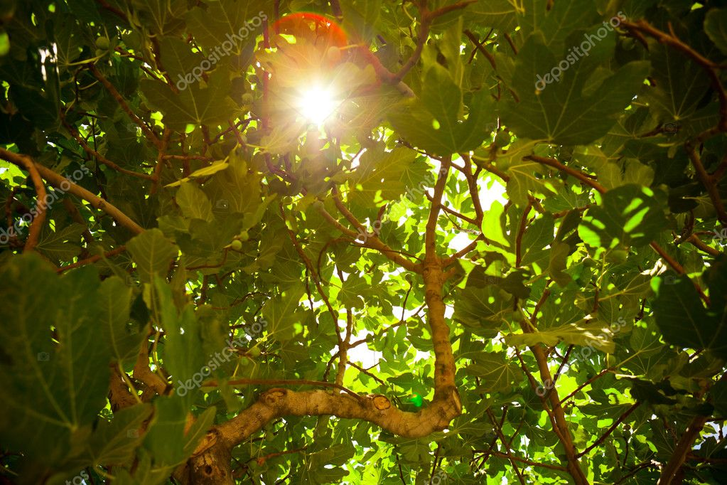 Sun shining throught the fig tree foliage  Stock Photo #10237145