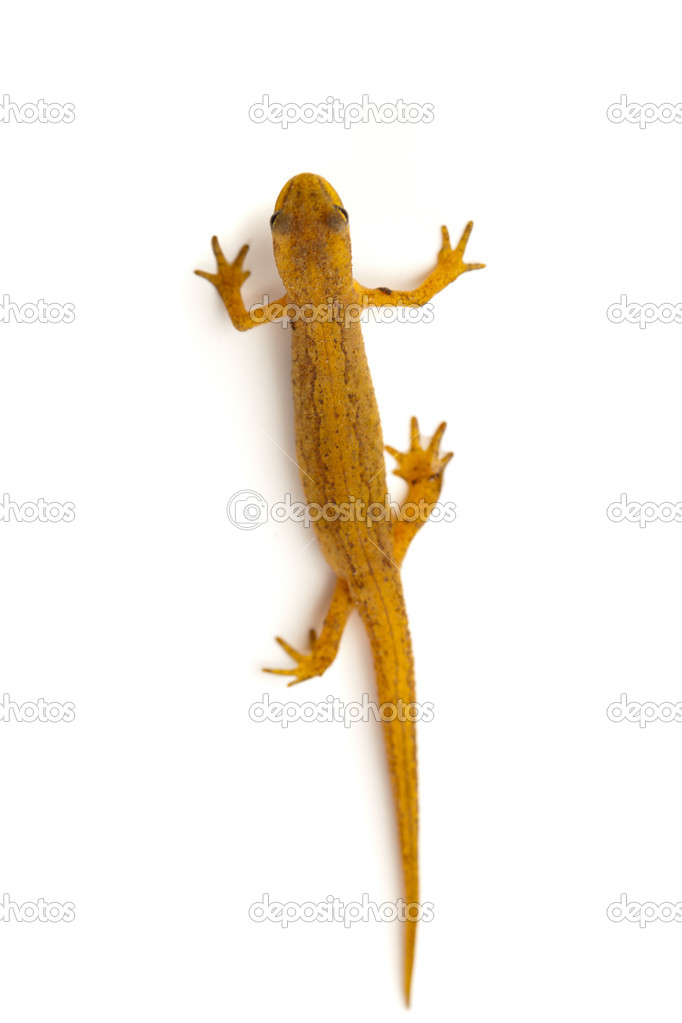 Newt isolated on white — Stock Photo #10237652