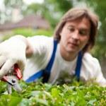 Gardener cutting a bush — Stock Photo #10242145