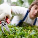 Gardener cutting a bush — Stock Photo #10242155