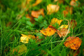 Yellow leaves on the lawn — Stock Photo