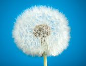 Dandelion on blue — Stock Photo