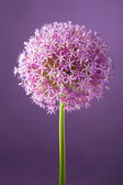 Purple alium onion flower — Stock Photo