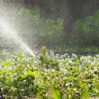 Stock Photo: Garden watering, huge amount of water drops