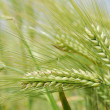 Barley — Stock Photo #10225047