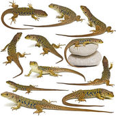 Set of lizards isolated over white. — Stock Photo