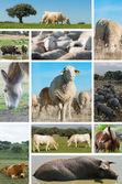 Livestock. — Stock Photo