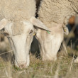 Detail of sheep eating. — Stock Photo